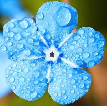 light blue flower - cropped